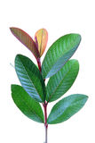 Young guava leaves