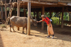 Young guide and water buffalo Royalty Free Stock Image