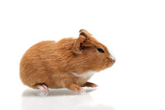 Young guinea pig Royalty Free Stock Photos