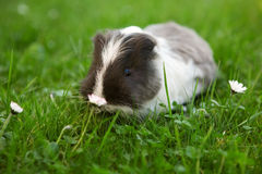 Young guinea pig Royalty Free Stock Images