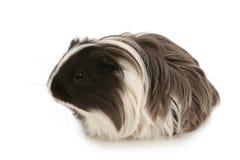 Young guinea pig Stock Photos