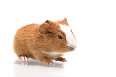 Young guinea pig Stock Images