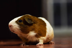 Young guinea pig. Brown and white quiet at home Royalty Free Stock Images