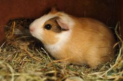 Young guinea pig Royalty Free Stock Photography