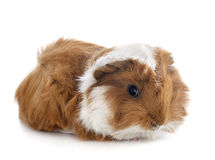 Young Guinea pig Royalty Free Stock Photo