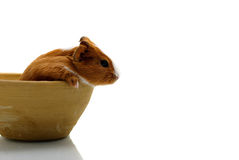 Young guinea pig in pottery Stock Images