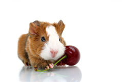 Young guinea pig with sour cherry Royalty Free Stock Photos