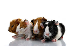 Young guinea pigs Royalty Free Stock Images