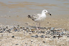 Young gull on the beach stock photography