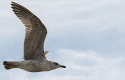 Young gull bird flying in the sky Stock Image