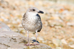 Young gull Royalty Free Stock Photo