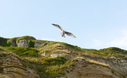 Young gull in flight Royalty Free Stock Image