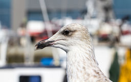 Young gull Royalty Free Stock Photos