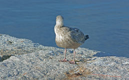 Young Gull Looking out to Sea Royalty Free Stock Image