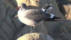 Young Gull at the rocks Westcoast, California, United States stock video
