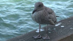 Young Gull San Francisco stock video footage