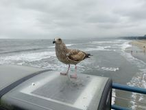 Young gull. Watching us waiting for food Stock Photography