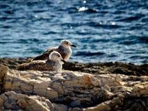 Young gulls Stock Photos