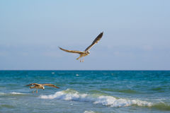 Young gulls lat. Larus argentatus Royalty Free Stock Image