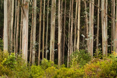 Young Gum Trees Stock Images