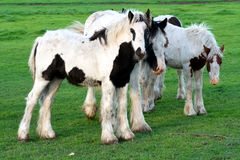 Young Gypsy Cob Horses Royalty Free Stock Photos