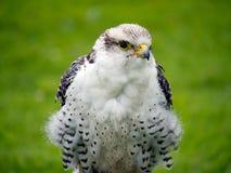 Young Gyr x Lanner Falcon closeup. Outdoors. Stock Photos