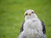 Young Gyr x Lanner Falcon outdoors. Stock Image