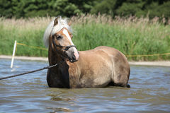 Young haflinger in the water Stock Image