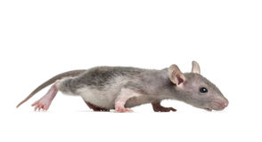 Young Hairless rat, isolated Stock Photo