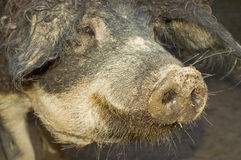Young hairy boar Stock Photography