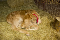 A young hairy cow calf sleeping. A young hairy cow baby calf sleeping in a ranch Royalty Free Stock Image