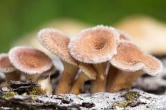 Young hairy mushroom cluster Royalty Free Stock Image