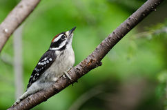 Young Hairy Woodpecker Perched in a Tree Royalty Free Stock Photo