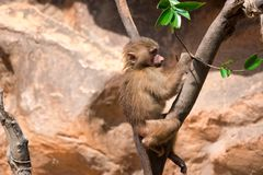A young hamadryas baboon while climbing a tree and looking for f. Ood in a zoo in singapore royalty free stock photography