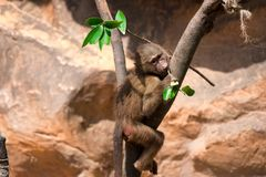 A young hamadryas baboon while climbing a tree and looking for f. Ood in a zoo in singapore royalty free stock photo