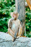 Young hamadryas baboon eating Royalty Free Stock Images