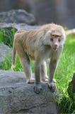 Young Hamadryas baboon stock image