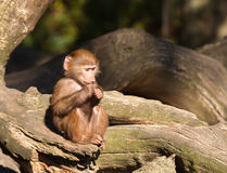 Young hamadryas baboon Stock Photos