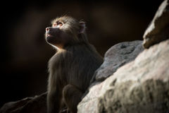 Young Hamadryas Baboon Catching Ray Of Light Royalty Free Stock Images