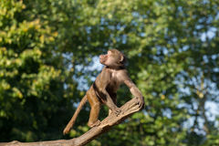 Young hamadryas baboon in a tree Royalty Free Stock Photo