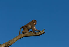 Young hamadryas baboon in a tree Royalty Free Stock Image