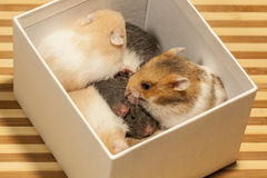 Young hamster in box. Stock Images