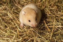 Young hamster in the hay. Stock Images