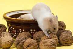 Young hamster and walnuts. Stock Photo