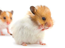 Young hamster washes Royalty Free Stock Photography