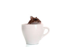 Young hamster in white cup isolated Royalty Free Stock Images