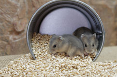 Young hamsters Royalty Free Stock Image