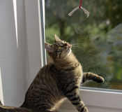Young handsome tabby cat at home Royalty Free Stock Photo