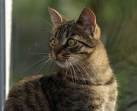 Young handsome tabby cat at home Stock Photography