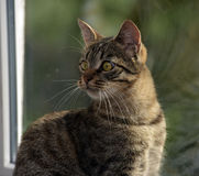 Young handsome tabby cat at home Royalty Free Stock Images